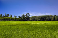 Giacimento verde del riso nel sud della Tailandia Fotografia Stock