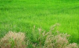 Giacimento verde del riso nella stagione del raccolto Fotografia Stock