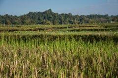 Giacimento verde del riso in Pua Fotografia Stock