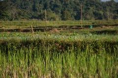 Giacimento verde del riso in Pua Fotografie Stock Libere da Diritti