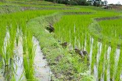 giacimento verde del riso sul terrazzo in valle della montagna Bella natura Immagine Stock Libera da Diritti