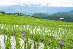 giacimento verde del riso sul terrazzo in valle della montagna Bella natura Immagini Stock