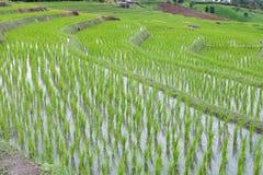giacimento verde del riso sul terrazzo in valle della montagna Bella natura Fotografie Stock Libere da Diritti