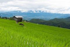 giacimento verde del riso sul terrazzo in valle della montagna Bella natura Fotografie Stock