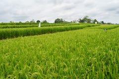 Giacimento verde del riso a Sumatra - l'Indonesia Immagini Stock