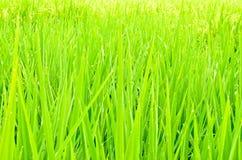 Giacimento verde del risone Immagini Stock