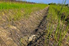 Giacimento verde dell'asparago Immagine Stock