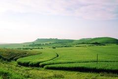 Giacimento verde della canna da zucchero Fotografia Stock