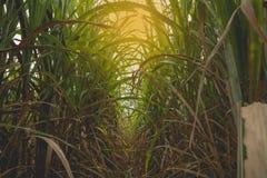 Giacimento verde della canna da zucchero con il raggio arancio del sole Fotografia Stock