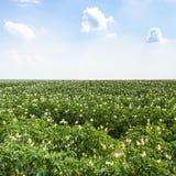 giacimento verde della patata in Francia Fotografie Stock