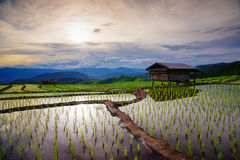 Giacimento verde fertile del riso Chiang Mai thailand fotografia stock libera da diritti