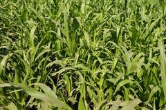Giacimento verde fresco della canna da zucchero Fotografia Stock