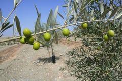 Giacimento verde oliva della collina degli alberi del paese giovane Immagini Stock