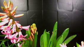 Giacinthe sbocciante nel fondo bianco video d archivio
