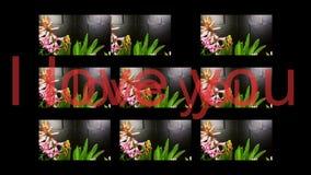 Giacinthe sbocciante nel fondo nero stock footage