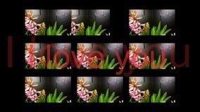 Giacinthe sbocciante nel fondo nero archivi video