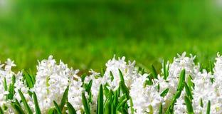 Giacinti bianchi della primavera con le foglie verdi e un fondo astratto per testo Fotografie Stock
