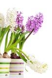 Giacinti bianchi e viola Fotografia Stock