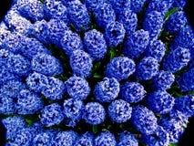 Giacinti blu che fioriscono in una forma rotonda veduta da sopra Immagine Stock