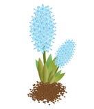 Giacinti del blu dei fiori freschi Concetto verde Fotografia Stock Libera da Diritti