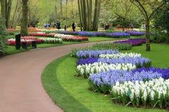 Giacinti della primavera Fotografia Stock