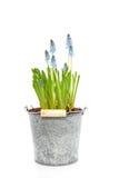 Giacinti di uva blu Fotografie Stock Libere da Diritti