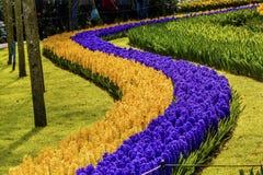 Giacinti gialli blu Keukenhoff Lisse Holland Netherlands immagine stock libera da diritti