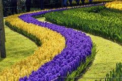 Giacinti gialli blu Keukenhoff Lisse Holland Netherlands immagini stock libere da diritti