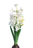 Giacinto bianco Fotografia Stock