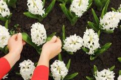 Giacinto bianco commovente delle mani di Womans sul flowerbed fotografia stock