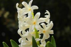 Giacinto bianco nel giardino Fotografia Stock Libera da Diritti
