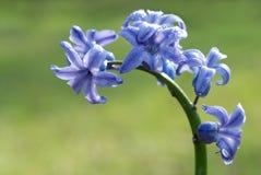 Giacinto blu Immagini Stock Libere da Diritti
