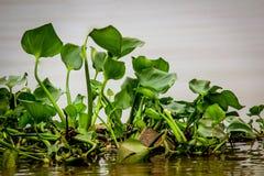 Giacinto d'acqua nel delta del Mekong, Vietnam fotografia stock