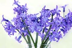 Giacinto del fiore fotografie stock