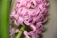 Giacinto delicatamente rosa fotografia stock libera da diritti