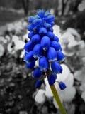 Giacinto dell'uva Fotografia Stock