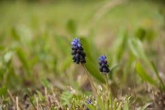 Giacinto dell'uva (neglectum del Muscari) Immagini Stock