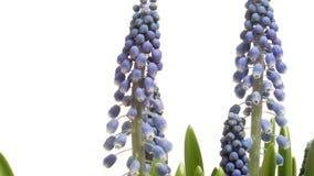 Giacinto dell'uva porpora (PS del Muscari ) fiore al rallentatore stock footage
