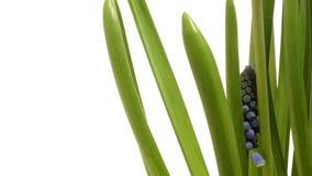 Giacinto dell'uva porpora (PS del Muscari ) fiore al rallentatore archivi video