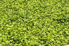 Giacinto di acqua Fotografia Stock Libera da Diritti