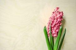 Giacinto di fioritura di rosa del fiore della molla Fotografia Stock Libera da Diritti