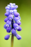 Giacinto di uva Fotografia Stock