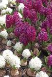 Giacinto Il campo della molla variopinta fiorisce le piante dei giacinti in vasi con le lampadine in serra su luce solare da vend Immagini Stock Libere da Diritti
