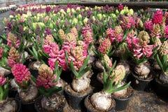 Giacinto Il campo della molla variopinta fiorisce le piante dei giacinti in vasi con le lampadine in serra su luce solare da vend Fotografie Stock