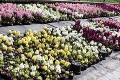Giacinto Il campo della molla variopinta fiorisce le piante dei giacinti in vasi con le lampadine in serra su luce solare da vend Immagine Stock Libera da Diritti