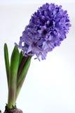 Giacinto (orientalis di Hyacinthus) Immagini Stock