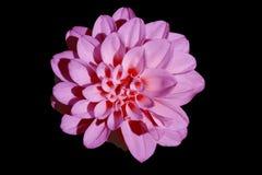 giacinto rosa fotografie stock