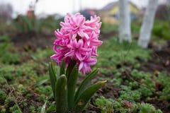 Giacinto rosa su una fine nuvolosa di giorno su e su un tulipano sbocciante rosso immagine stock