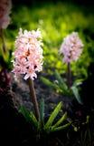 Giacinto rosa in un ambiente naturale immagine stock