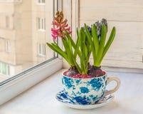 Giacinto in un vaso con un picchiettio d'annata fotografie stock libere da diritti